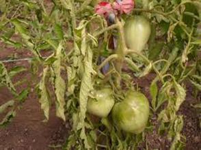 Фитофтоз - заболевание растений