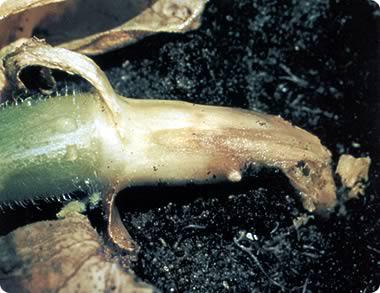 Корневая гниль - заболевание растений