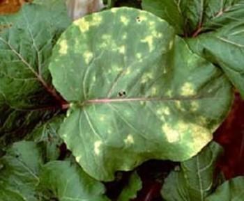 Ложная мучнистая роса - заболевание растений