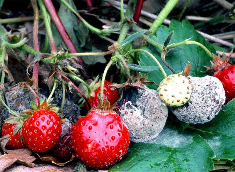 Серая гниль - заболевание растений