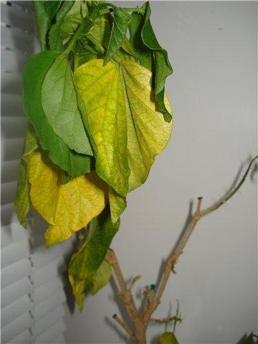 Вертицилле - заболевание растений