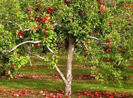 Обрезка семечковых плодовых деревьев