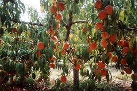 Обрезка косточковых плодовых деревьев